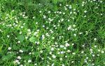 Мокрица: полезные качества сорняка