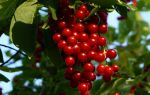 Полезные свойства черемухи и применение ягоды в лечении