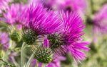 Уникальные свойства расторопши и применение растения в лечении