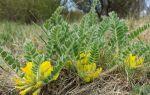 Астрагал: уникальное растение от опасных болезней