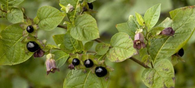 Белладонна: ядовитое растение с невероятной пользой для организма