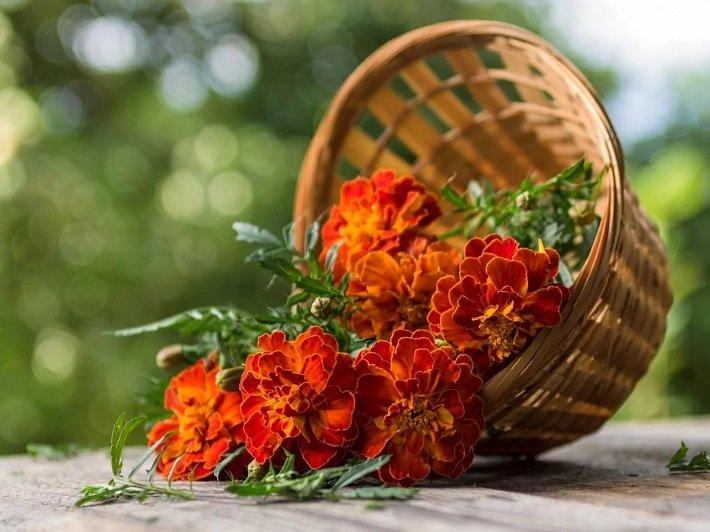 цветы бархатцев