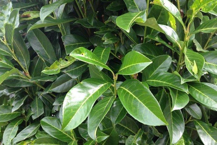 растение лавр