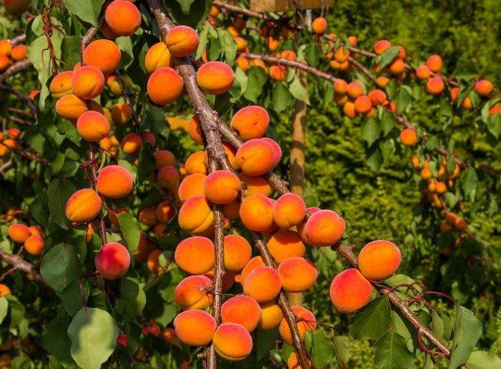 абрикос на ветке
