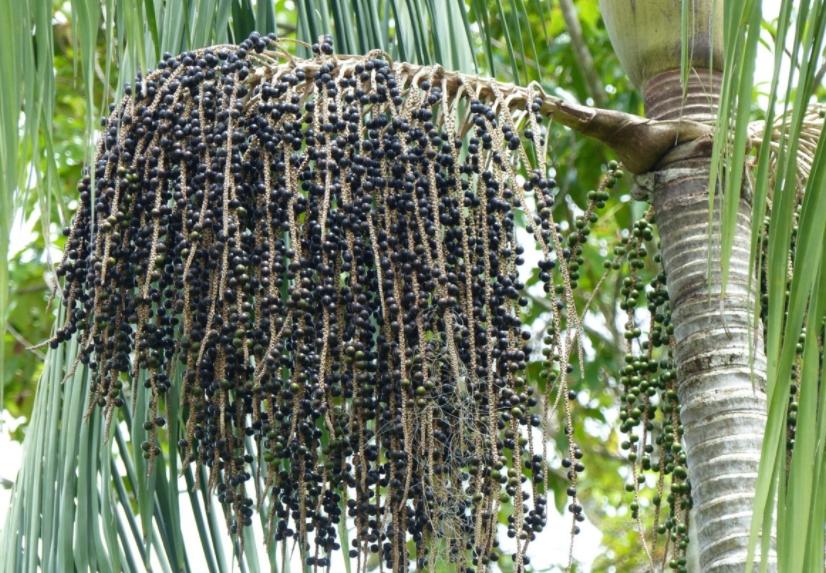 дерево асаи