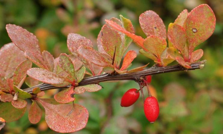 листья барбариса